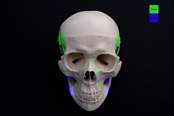 Anterior Skull- Muscle Origins and Insertions