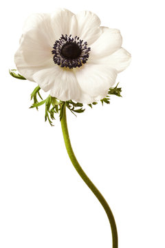 Black and White Anemone Isolated on a White Background