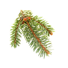 spruce branch isolated