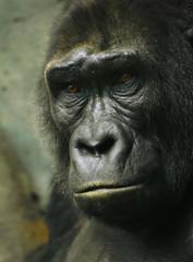 Pensive sad gorilla