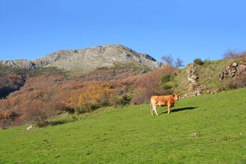 vaca pastando en los prados de los Picos de Europa