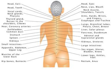 Spine - organ correlation