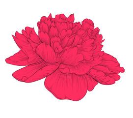 beautiful peony flower isolated on background.