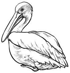 Pelican on white