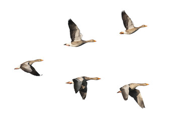 Greylag Geese flying in V-formation
