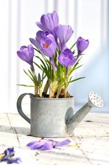 crocus en pot décoratif sur une table en terrasse