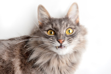 Gray cat with canines