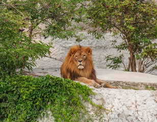 resting predatory lion