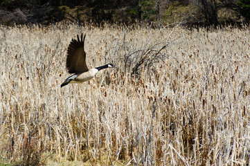 giant Canada Goose on flight in wheat field