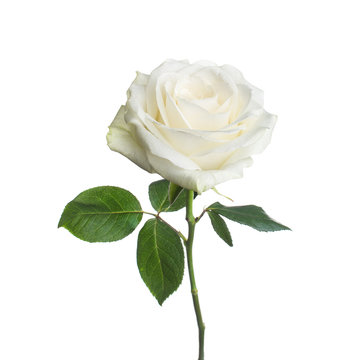 single white rose  isolated  background