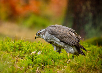 Goshawk feeding on young rabbit