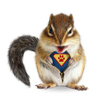 Funny animal super hero, squirrel unbuckle his fur