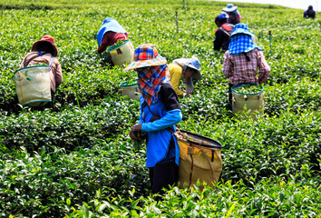 Workers in a green field harvesting the green tea