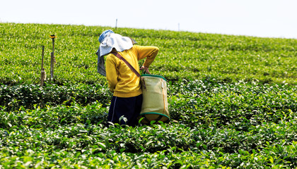 Worker in a green field harvesting the green tea