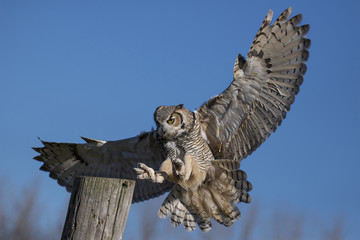 Great horned owl  (Bubo virginianus)