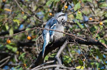 Blue Jay preening