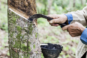 People  cutting Tapped rubber tree with knife.