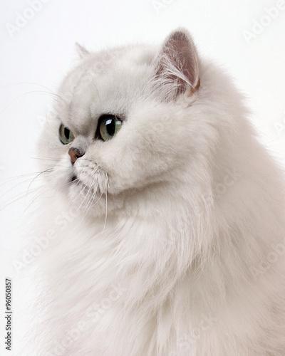 profil chat persan chinchilla blanc photo libre de droits sur la banque d 39 images fotolia. Black Bedroom Furniture Sets. Home Design Ideas