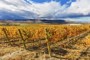 Orange Leaves Grapes Fall Vineyards Red Mountain Benton City Washington