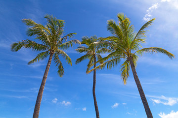 Three tall palms stand above the clouds after summer rain. Palms under Hawaiian sun and clouds in the sky.