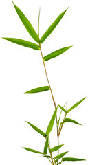 tige de bambou vert sur fond blanc