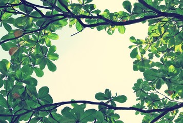 green leaf background of Indian almond