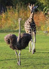 Strauß und Giraffe