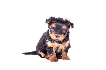 Cute yorkshire terrier puppy sitting, 2 months old, isolated on white.