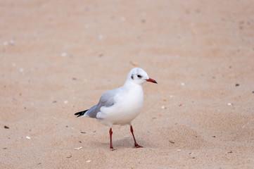Seagull on sand, Bird, seagull Background, Ornithology