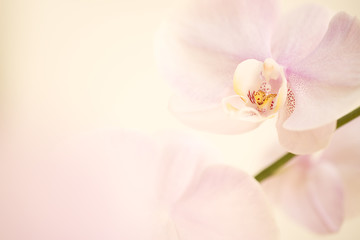 pink dendrobium orchid background.