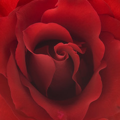 red rose closeup background
