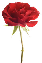 red rose closeup isolated on white background