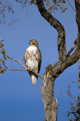 Red-tailed Hawk in November in New Mexico