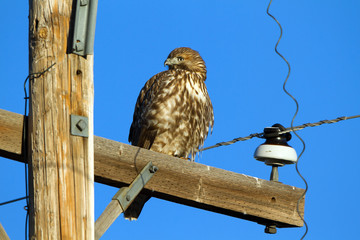 Red-tailed Hawk on a utility pole