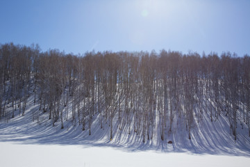 birch in winter in the mountains