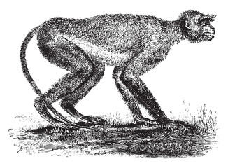 Langur monkey of the Miocene period in Greece, vintage engraving