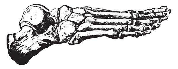 Bones of the foot, vintage engraving.