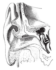 A diagrammatic view of the ear, vintage engraving.