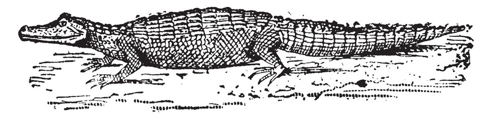 Alligator, vintage engraving.