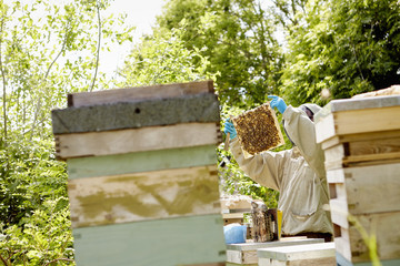 A beekeeper in a protective suit and face covered, checking his beehives.