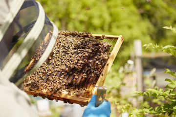 A beekeeper in a suit, with his face covered, holding a honeycomb frame covered in bees.