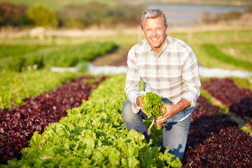 Farmer Harvesting Organic Salad Leaves On Farm