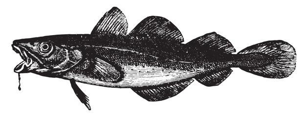Cod, vintage engraving.