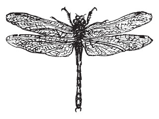 Demoiselle or dragonfly, vintage engraving.