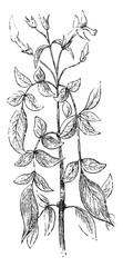 Jasmine, vintage engraving.
