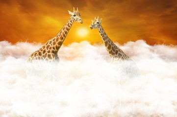 Rendezvous of two giraffes above the clouds