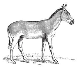 Onager or Hemione, vintage engraving.
