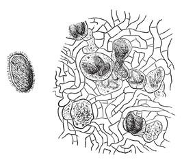 Spore truffle, vintage engraving.