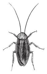 American cockroach, vintage engraving.