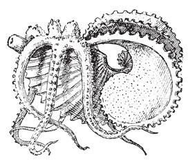 Argonaut, vintage engraving.